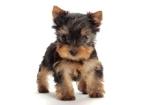 Hundarnas Salong: yorkievalp