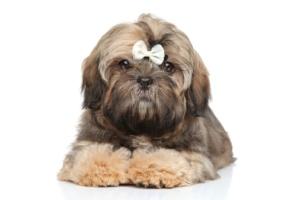 Hundarnas Salong: fluffig shih tzu valp